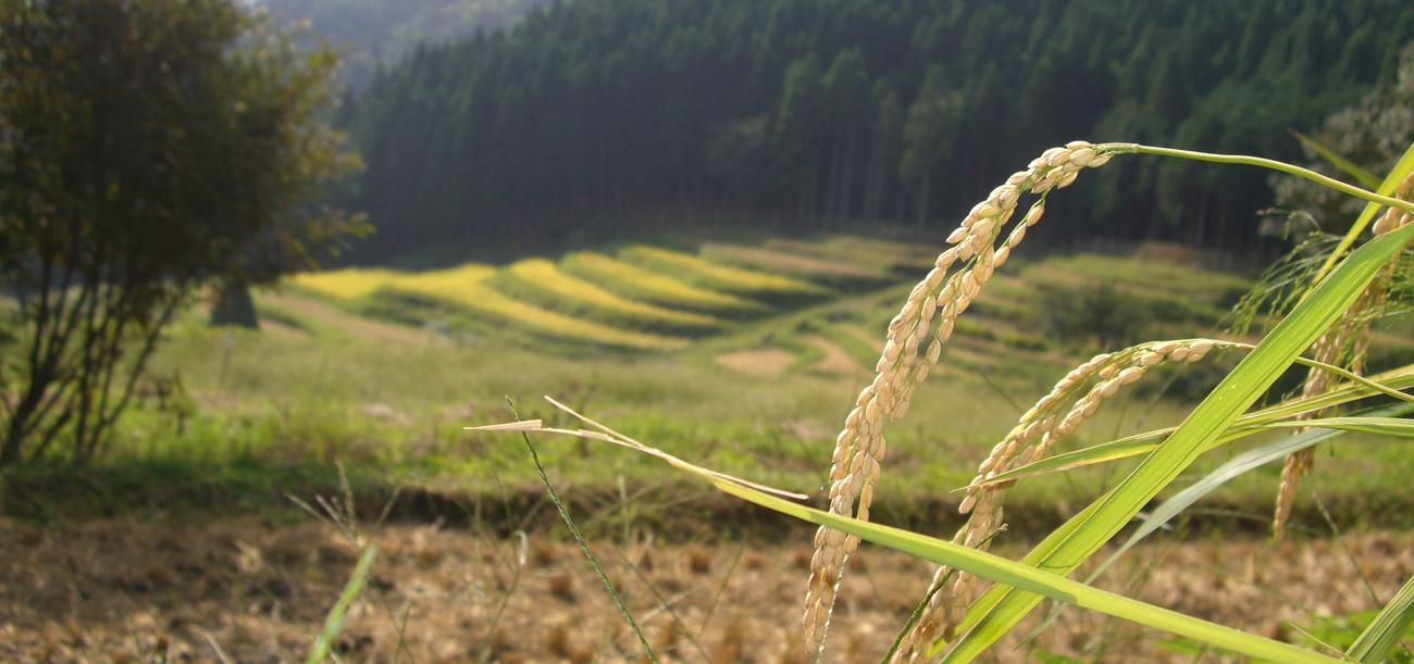 耕した田んぼからの収穫です