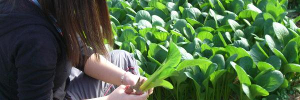 育った野菜を収穫して自分たちで食べる